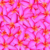 Frangipani Background Royalty Free Stock Photography