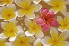 frangipani bali Стоковые Изображения RF