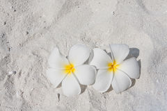 Frangipani on a beach Royalty Free Stock Image