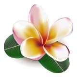 Frangipani. Beautiful  illustration. Beautiful gentle flower Frangipani Royalty Free Stock Photography