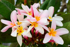 Frangipani beauty. Beautiful flowers in tree.Frangipani beauty Stock Photo