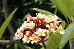 Frangipani - Belize Royalty Free Stock Photo