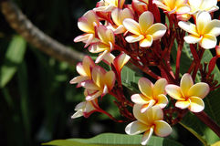 Frangipani - Belize Stock Images