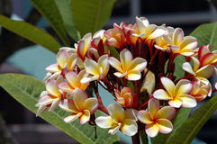Frangipani - Belize Royalty Free Stock Images