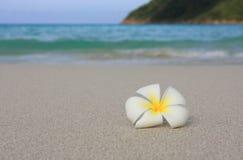 Frangipani bianco tropicale sulla spiaggia Fotografia Stock Libera da Diritti