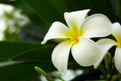 frangipani biel fotografia royalty free