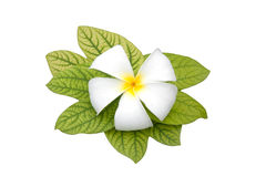 Frangipani blüht Weiß Stockfoto