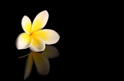 Frangipani on Black. A glorious frangipani (plumeria) flower, reflected on a black surface royalty free stock image