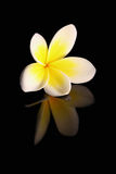Frangipani on Black Royalty Free Stock Images