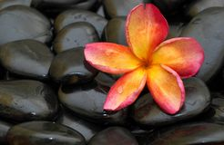 Frangipani on black stones Royalty Free Stock Photos