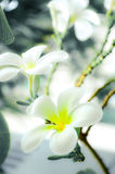 Frangipani blanc photo stock