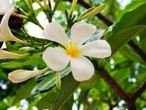 Frangipani blanc Photo stock