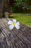 Frangipani blanc sur le vieux bois de construction photos libres de droits