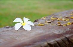 Frangipani blanc sur le vieux bois de construction image stock