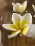 Frangipani blanco Foto de archivo libre de regalías