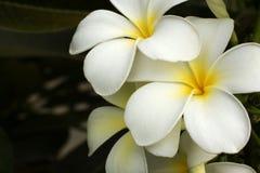 Frangipani blanco Imágenes de archivo libres de regalías