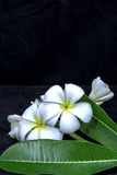 Frangipani blanco aislado en fondo negro Fotografía de archivo