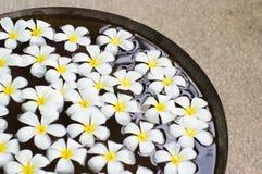 Frangipani blanco en el agua Fotografía de archivo