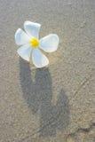 Frangipani blanco en la superficie de la arena Imagen de archivo libre de regalías