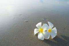 Frangipani blanco en la superficie de la arena Fotos de archivo