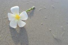Frangipani blanco en la superficie de la arena Imagenes de archivo
