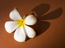 Frangipani blanco marchitado con la sombra en la tierra Foto de archivo libre de regalías