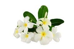 Frangipani blanco y hoja verde. Imagen de archivo