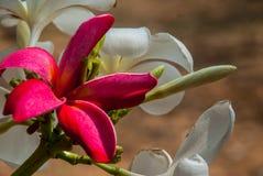 Frangipani blanco y rojo Leelawadee imagenes de archivo
