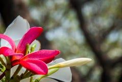 Frangipani blanco y rojo Leelawadee imagen de archivo libre de regalías