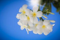 Frangipani bloeit op een boom in de tuin Stock Afbeeldingen