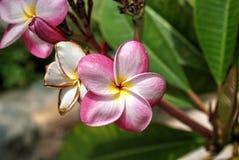 Frangipani of Bloemen Plumeria Royalty-vrije Stock Foto