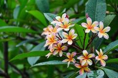 Frangipani bloom Royalty Free Stock Photo