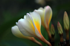 The frangipani Stock Photos