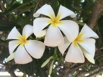 Frangipani blooms, Australia Stock Photos