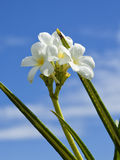 Frangipani blossom Stock Photography