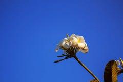 Frangipani on the blue sky. Royalty Free Stock Photography