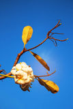 Frangipani on blue sky. Royalty Free Stock Photography