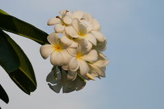Frangipani with bluesky background. Beautiful Frangipani flowers in blue sky wallpaper Royalty Free Stock Images