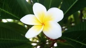Frangipani-Blume Stockfoto
