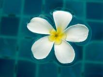 Frangipani-Blume Lizenzfreies Stockfoto