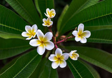 Frangipani-Blume Lizenzfreies Stockbild