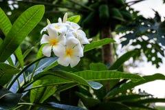 Frangipani-Blume Stockbild