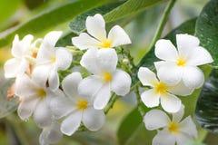 Frangipani-Blume stockfotos