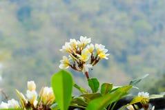 Frangipani-Blume Lizenzfreie Stockfotos