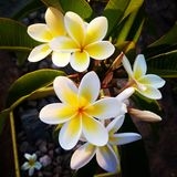Frangipani bonito Fotografia de Stock Royalty Free