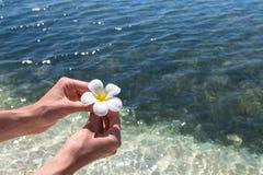 Frangipani bonito da flor Foto de Stock Royalty Free