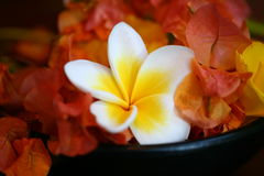 Frangipani bowl Stock Images
