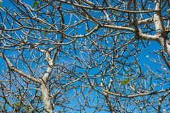 Frangipani branches with blue sky Royalty Free Stock Images