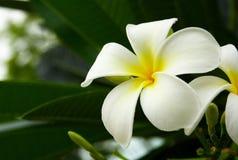 Frangipani branco Fotografia de Stock Royalty Free