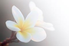 Frangipani branco Imagem de Stock